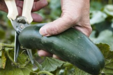 what are trace minerals, harvesting cucumbers
