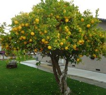 Lemons were sweeter.  Find this picture at Wikimedia.