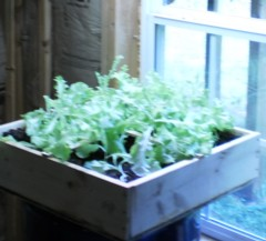square foot gardening tips, window lettuce, indoor lettuce