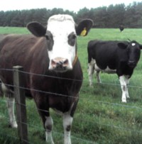 Dairy cattle produce a lot of manure!
