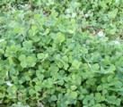 homemade organic fertilizer, dutch clover, clover cover crop