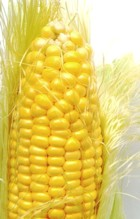 Great yields on sweet corn.  Picture from Wikimedia.