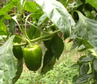 Green Peppers are an easy crop to grow