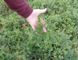homemade organic fertilizer, hairy vetch, green manure