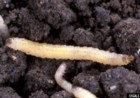 square foot gardening, larvae, western corn rootworm