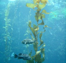 This kelp may not seem so appetizing, but is an incredible food source!