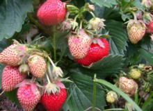 Strawberries at different stages of maturity