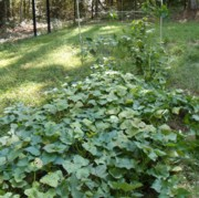 I didn't apply manure tea to my sweet potatoes.  Too much nitrogen produces a lot of foliage, but a long, skinny sweet potato.
