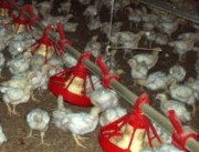 Chickens produce a lot of manure