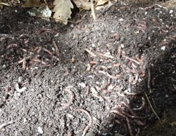 compost tea recipe, earthworms