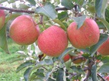 An apple tree ripe for the picking.  Find this picture on Wikimedia