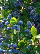 Delicious blueberries!   Picture from Wikimedia