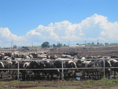 Cattle feedlots can have upwards of 10,000 cattle in confined quarters
