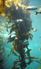 liquid organic fertilizers, kelp, liquid kelp