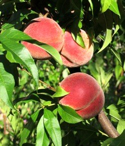 let food be your medicine, peach tree, curly leaf virus
