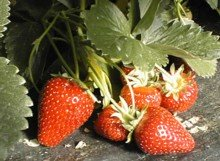 Does this make you hungry, and ready to grow some strawberries?