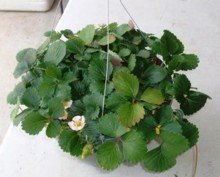 A hanging basket can be used for growing strawberries.  Beautiful decor for a porch!