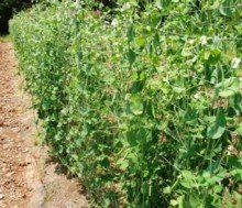 Every few days I harvest Sugar Snap Peas from these vines.
