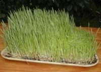Wheat grass, grown for wheat grass juice.  Wikimedia picture.