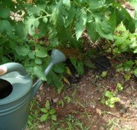 I am applying my tea to the base of my tomato plants, not to the leaves.