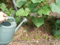 In this application of tea on cucumbers, I try to fertilize the base of the plant, avoiding getting it on the leaves.